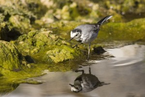 white wagtail: Again in Beypazar? in the same hide. They are very common birds can be observed near lakes and streams. You can easily see them shaking their tails while standing.