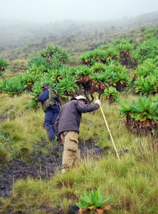 jeff_climbing_through_senecia_forest_nyarigongo