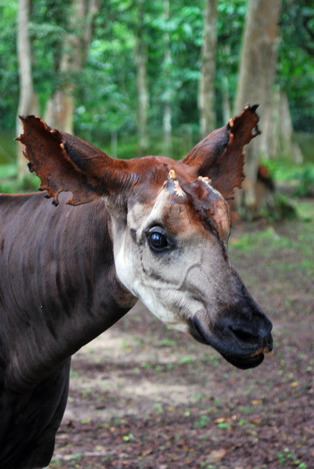 The Okapi (Okapia johnstoni; pronounced /o??k??p?/) is a giraffid artiodactyl mammal native to the Ituri Rainforest, located in the northeast of the Democratic Republic of the Congo, in central Africa. Although the okapi bears striped markings reminiscent of the zebra, it is most closely related to the giraffe. Unknown to Europeans until 1901, today there are approximately 10,000–20,000 in the wild and only 40 different worldwide institutions display them