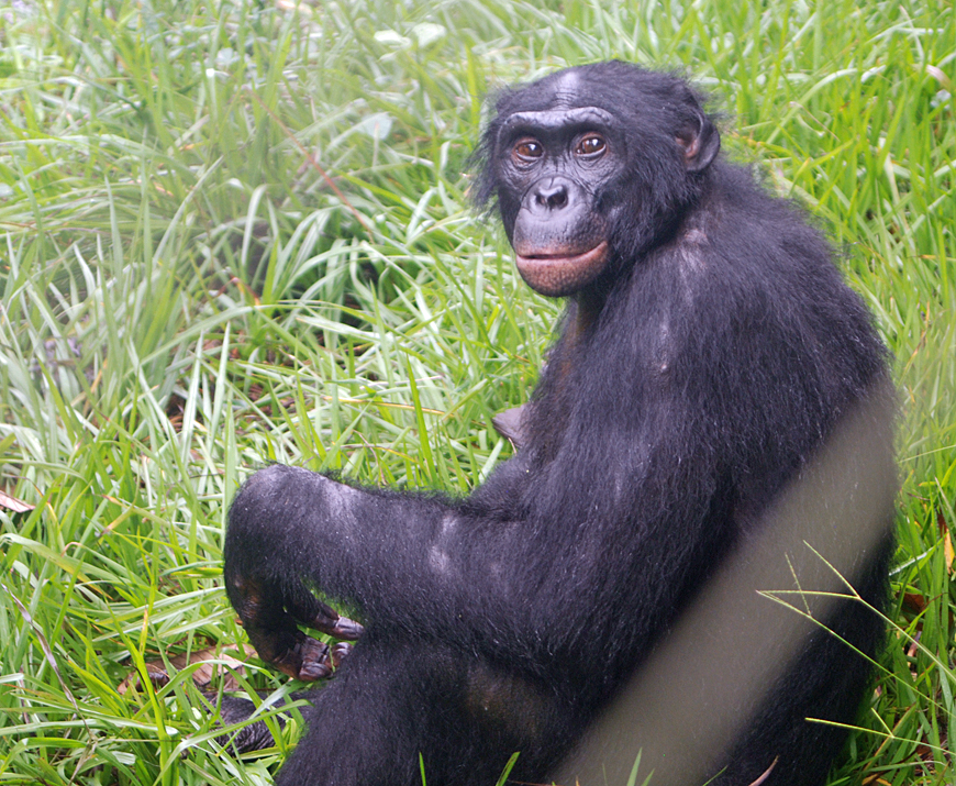 bonobo the love monkey