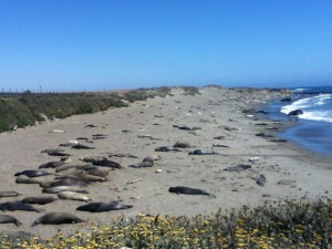 Elephant seals come ashore to molt