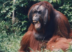 40 year old orangutan #15-cropped