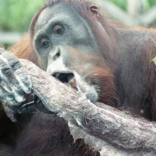 Bor202-11 Wild orang lathering himself with my shampoo
